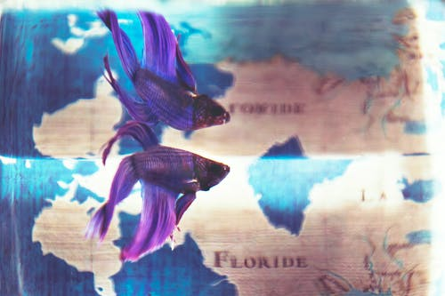Close Up Photo of Purple Betta Fish