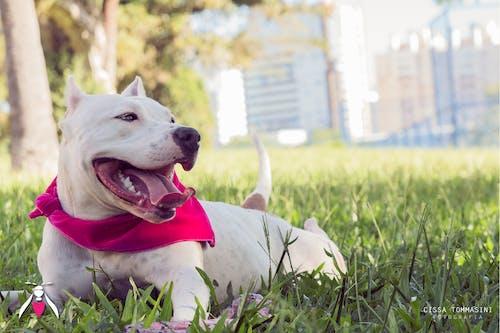 Gratis arkivbilde med amerikansk hund, babyhund, by, bølle