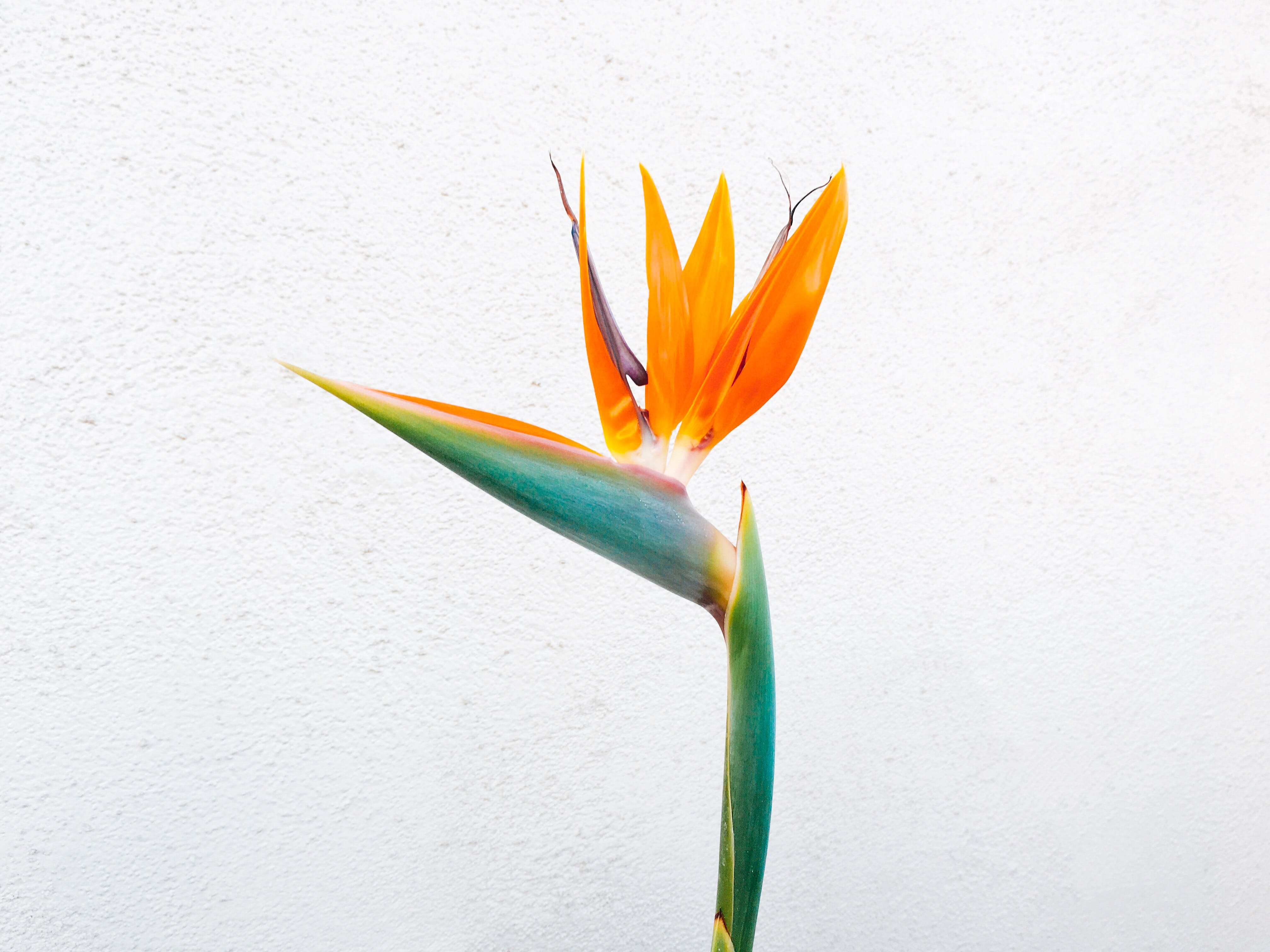 Orange Birds of Paradise Flower Closeup Photo
