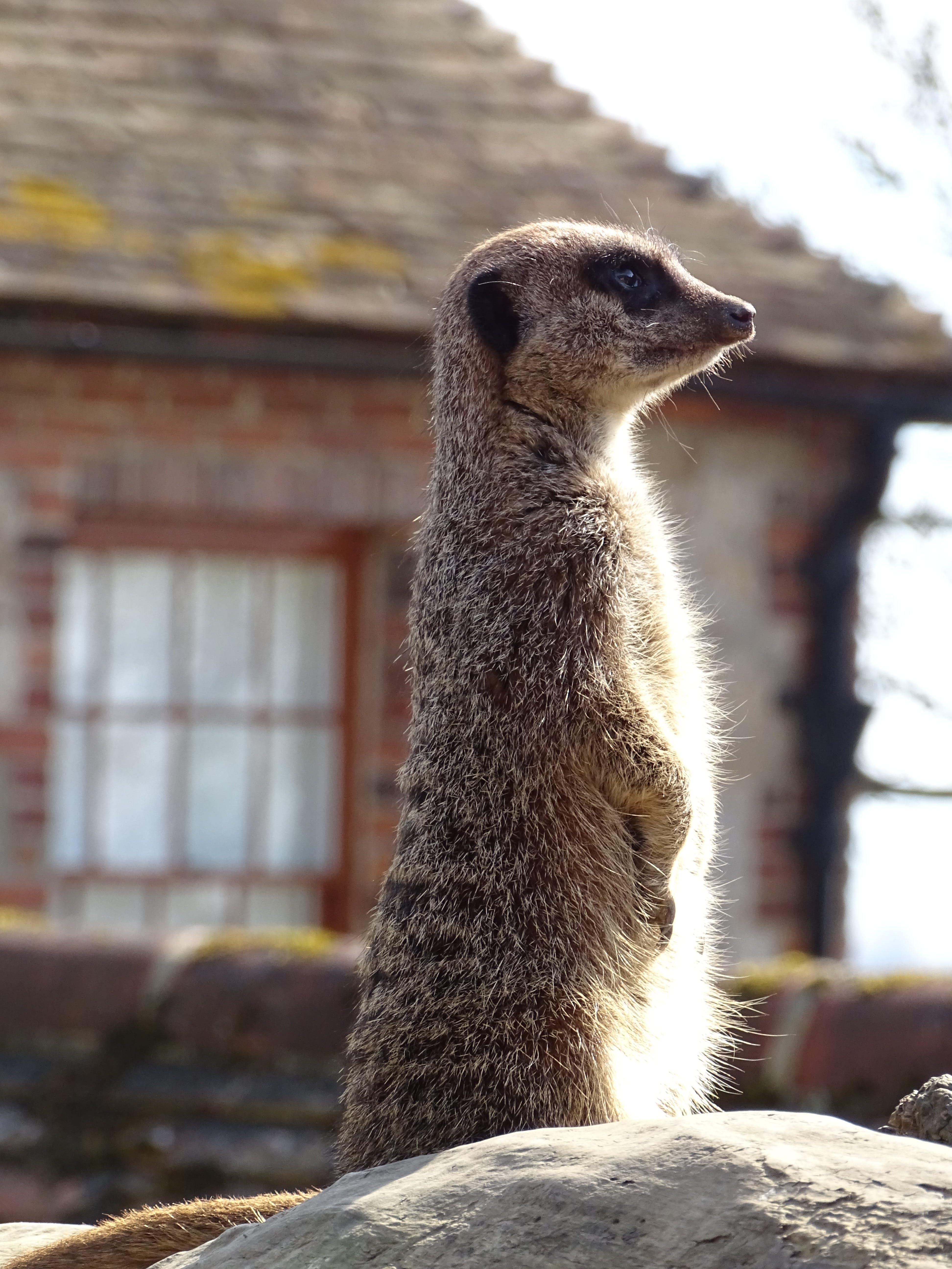 Δωρεάν στοκ φωτογραφιών με meerkat, βάθος πεδίου, γλυκούλι, ζώα