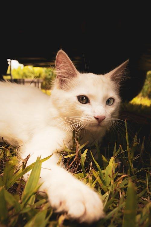 Foto profissional grátis de gato, gato branco, gato grande