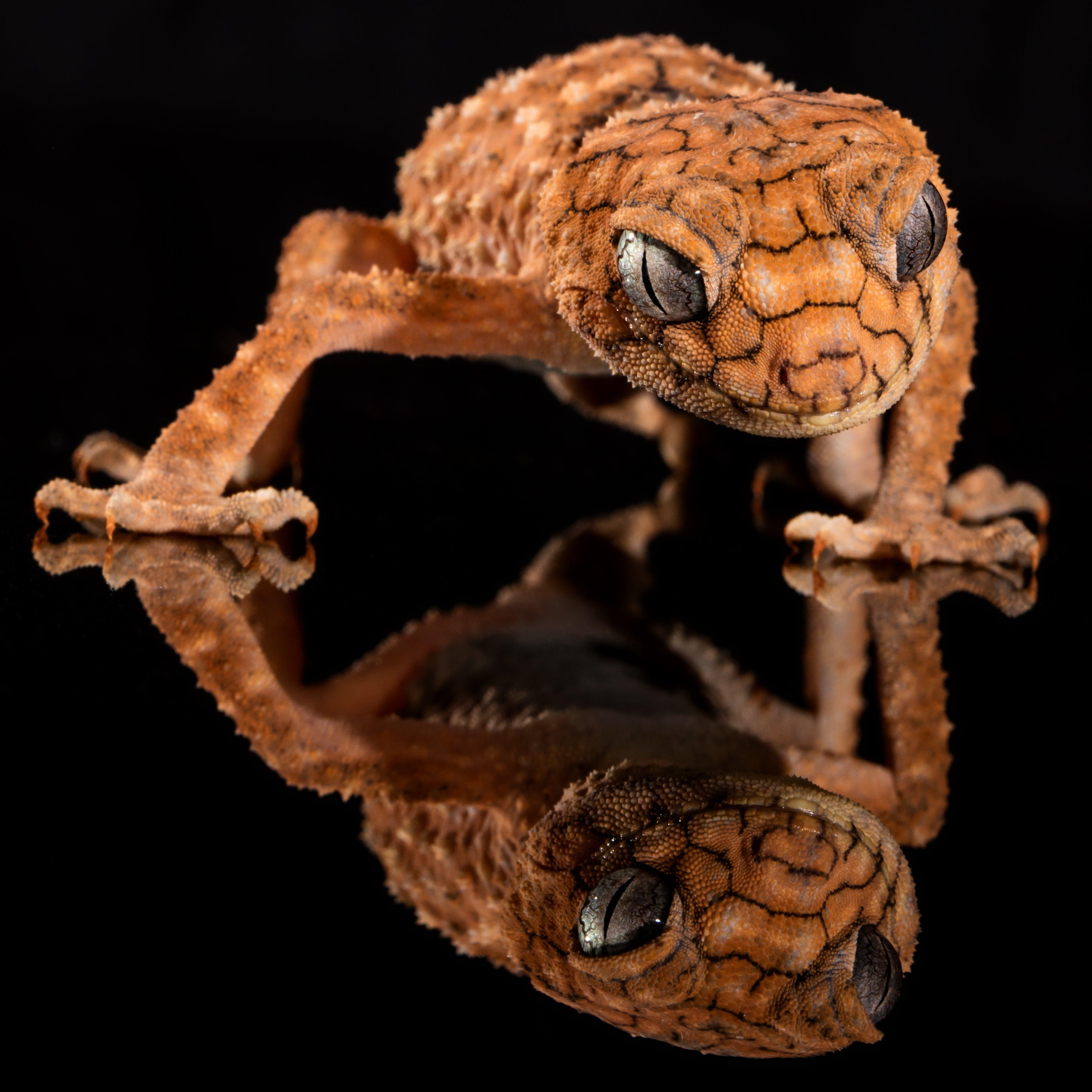 Brown Lizard's Image Reflecting on Floor