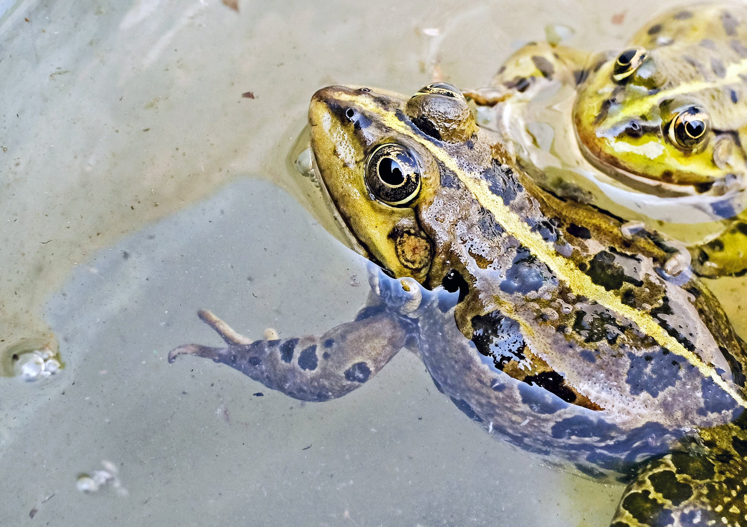 Two Brown-and-green Frogs in Water