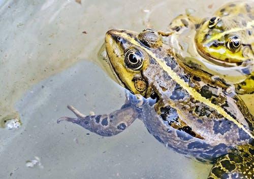 Immagine gratuita di acqua, anfibi, animali, fotografia di animali