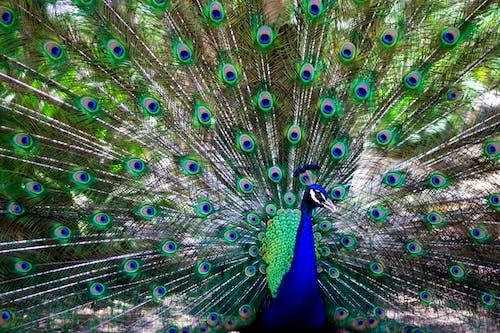 Immagine gratuita di pavone, piume di pavone