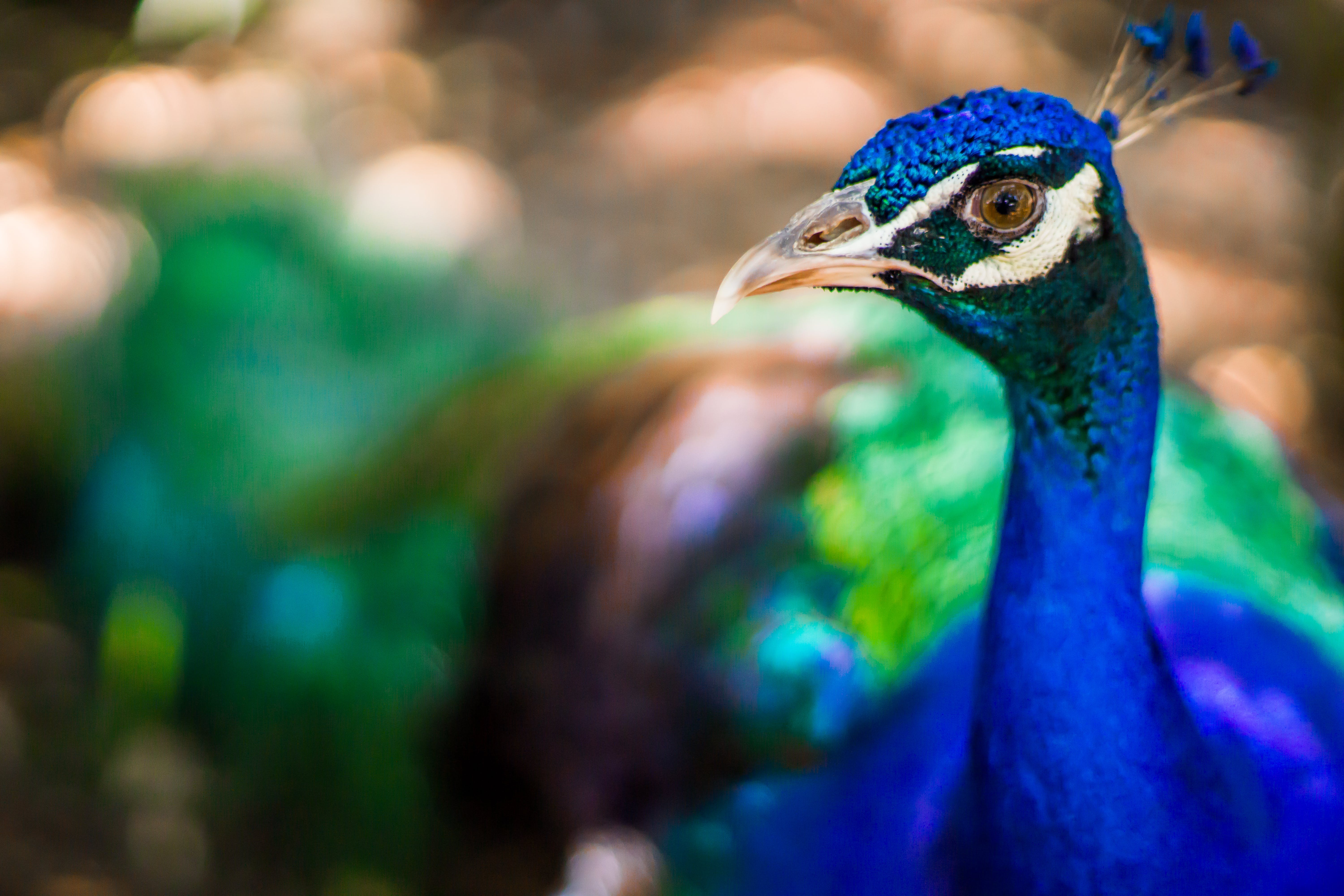 Tilt Shift Lens Photography of Blue Peacock