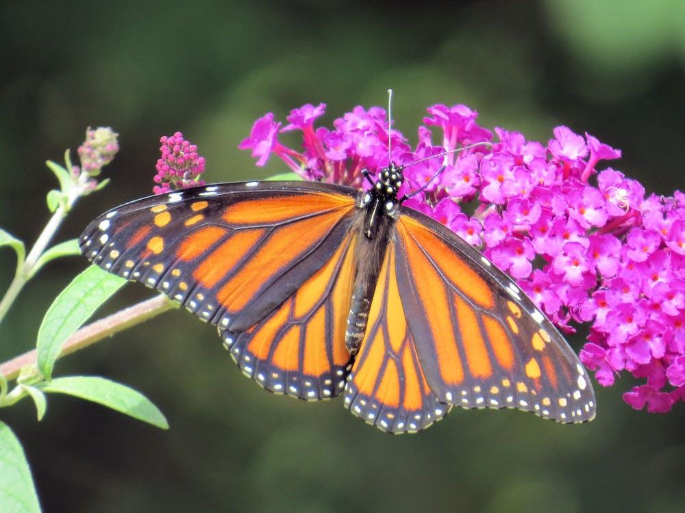 buddleia, monark, Monarksommerfugl