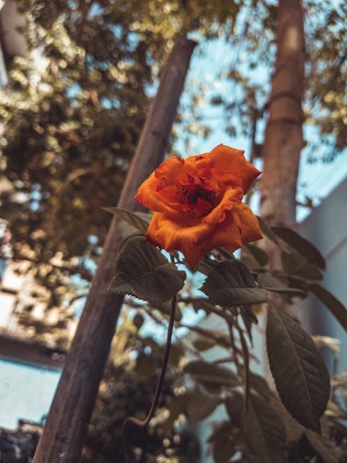 Gratis lagerfoto af appelsin, blad, blade