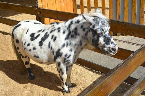 Foto d'estoc gratuïta de animal, bestiar, bufó, cavall en miniatura