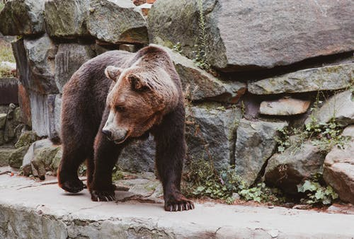 Brown Bear on Green Moss Covered Rock