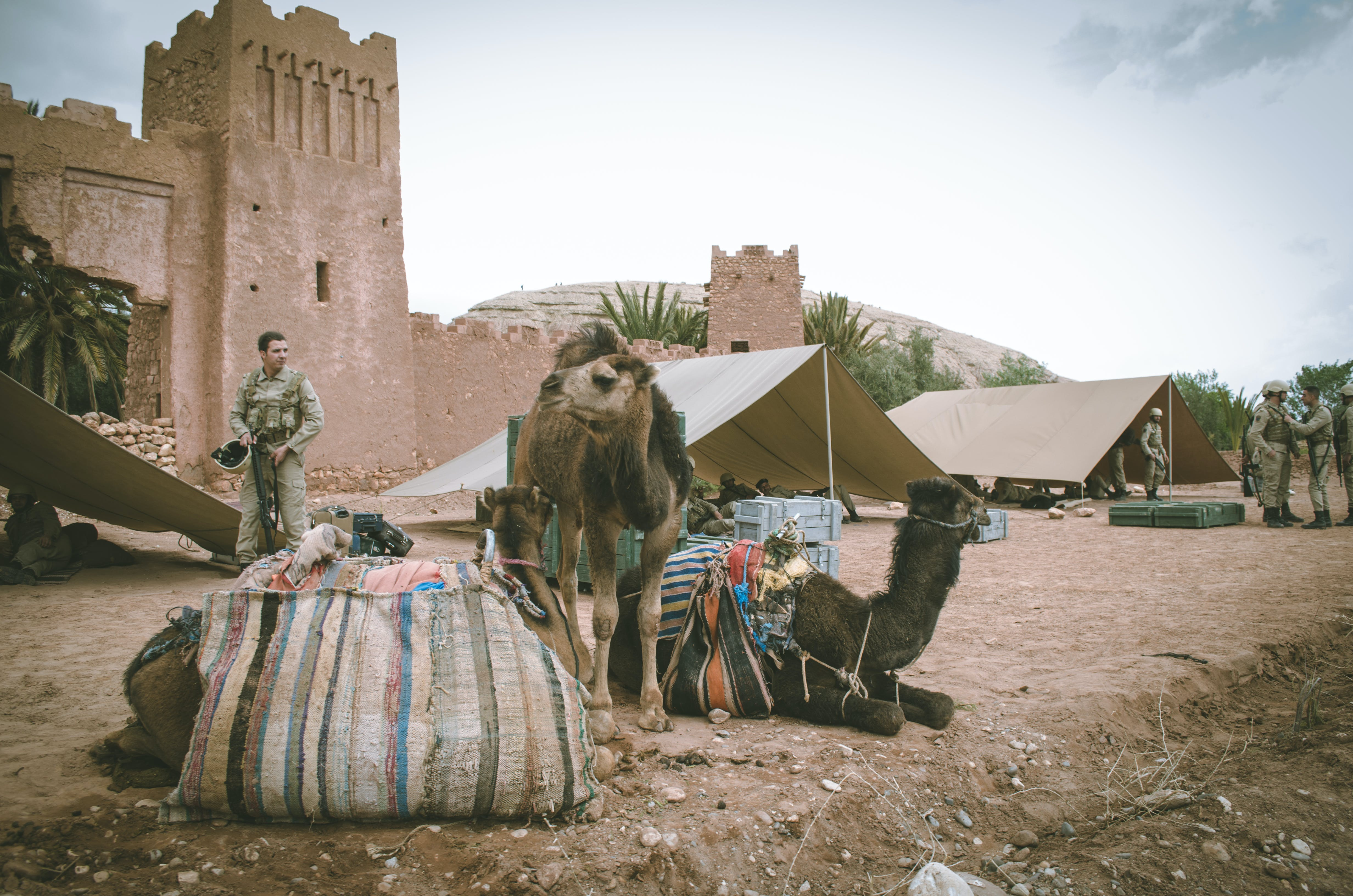 Two Camels Near Man and Brown Concrete Building