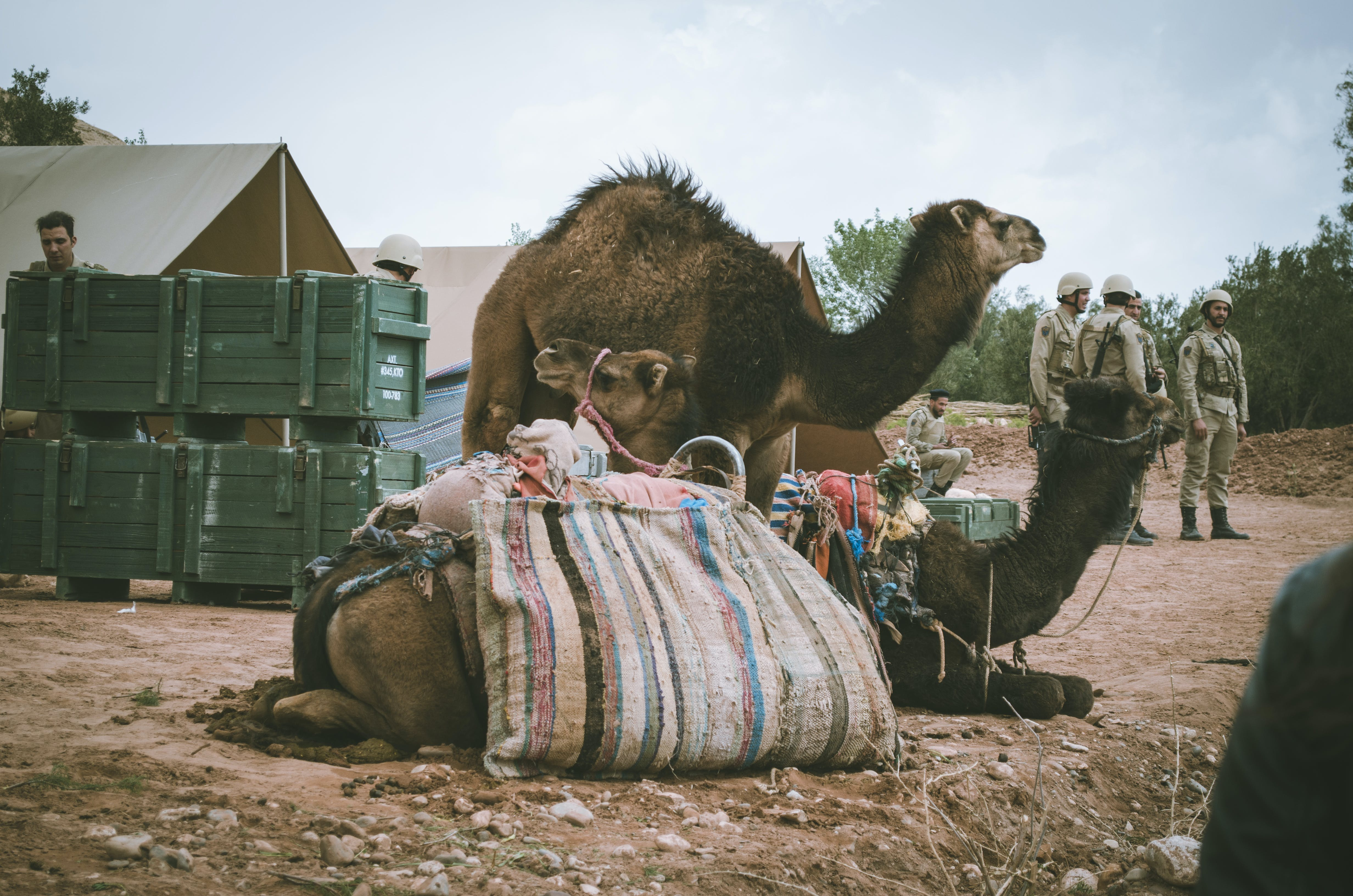 Photo of Camels Resting on Ground