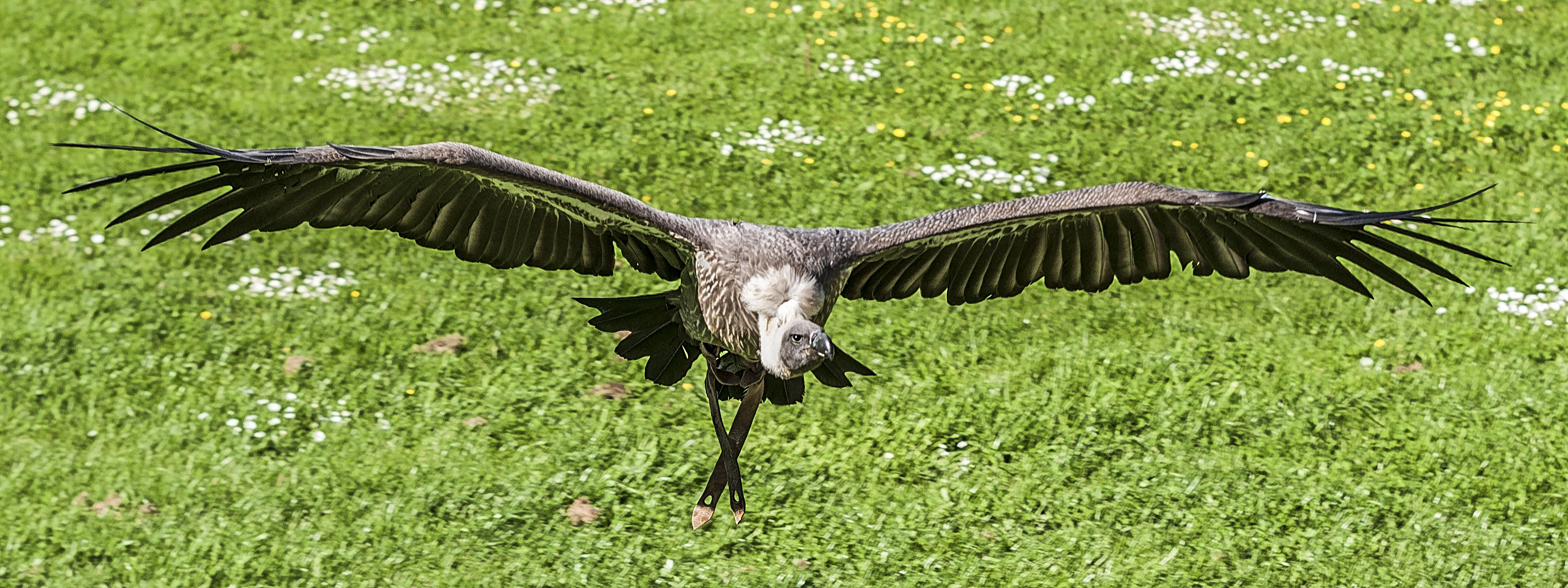 Black and Gray Vulture Flying at Daytime