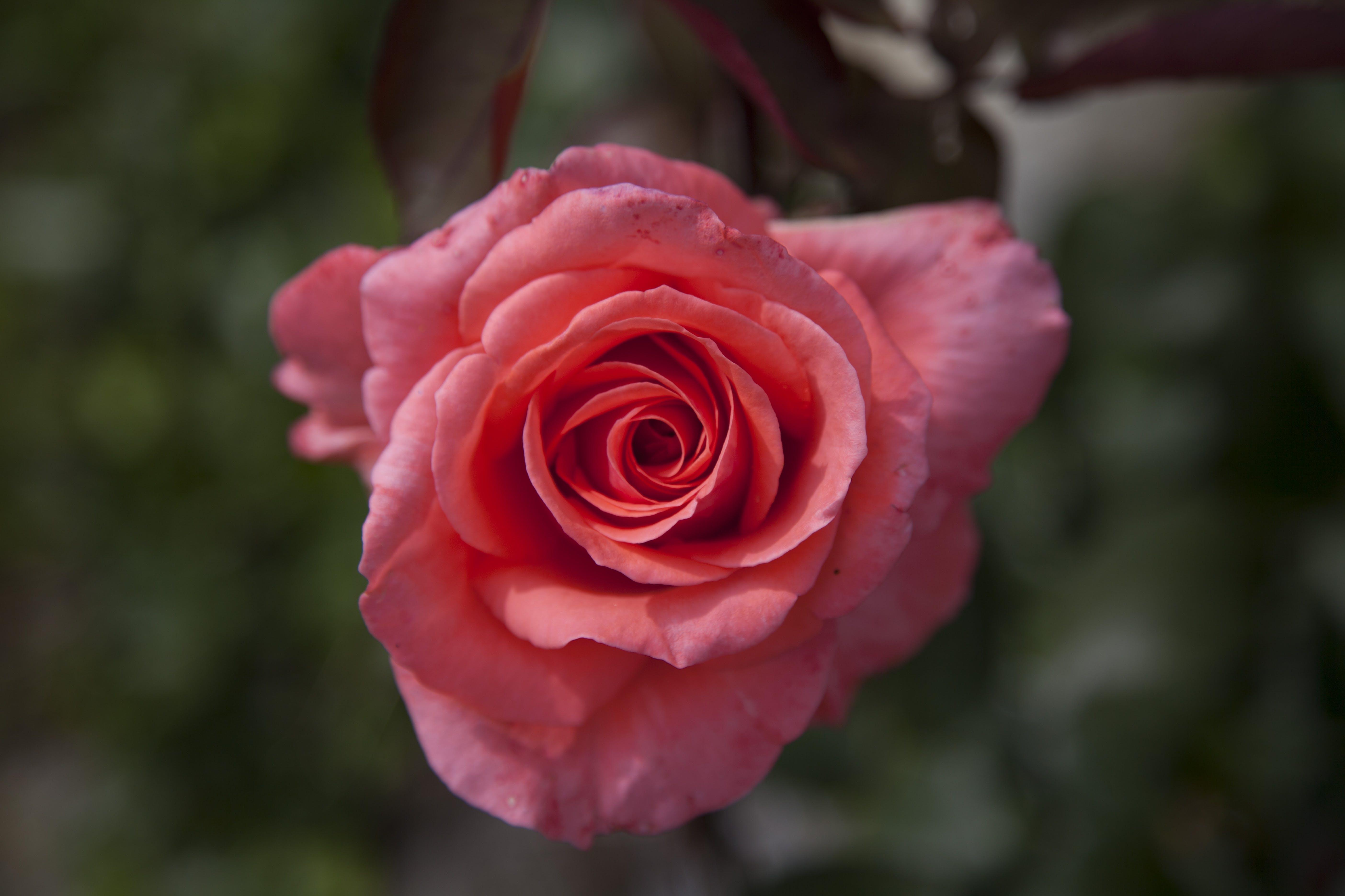 Darmowe zdjęcie z galerii z botaniczny, flora, jasny, kolory