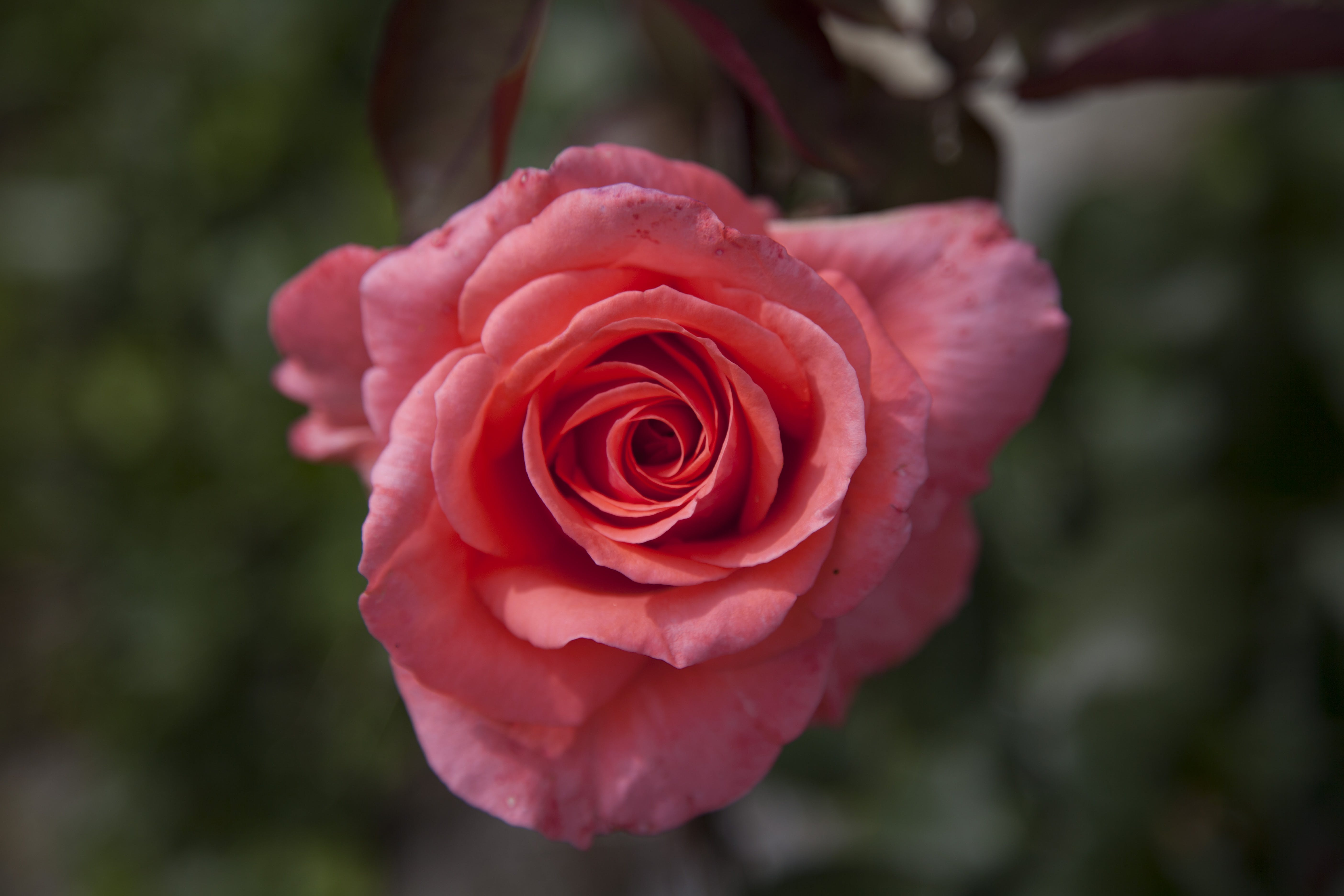 Closeup Photo of Red Petaled Floewr