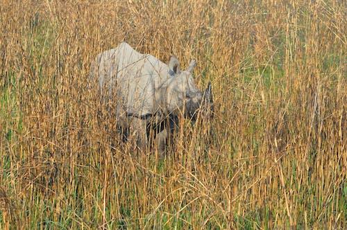 Free stock photo of grassland, rhinoceros