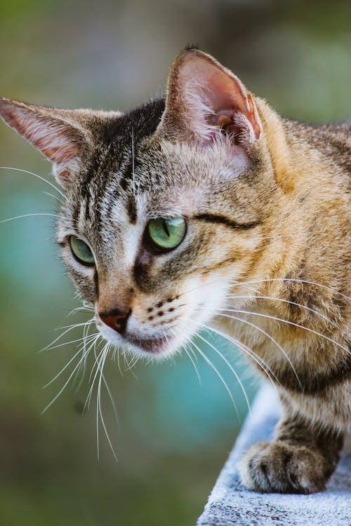 Δωρεάν στοκ φωτογραφιών με cat closeup, απαλός, βλέπω