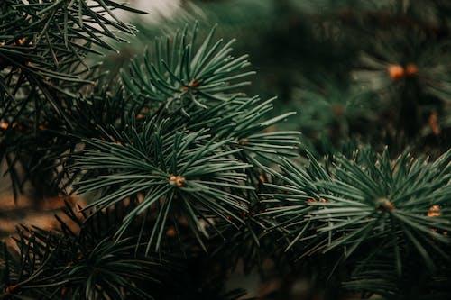 가문비, 가지, 나무, 색깔의 무료 스톡 사진