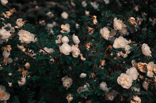 シーズン, フラワーズ, 屋外, 庭園の無料の写真素材