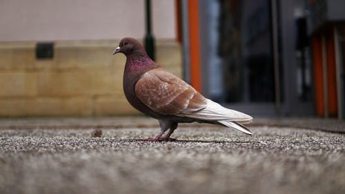 Selective Focus Photo of Gray and Purple Pigeon