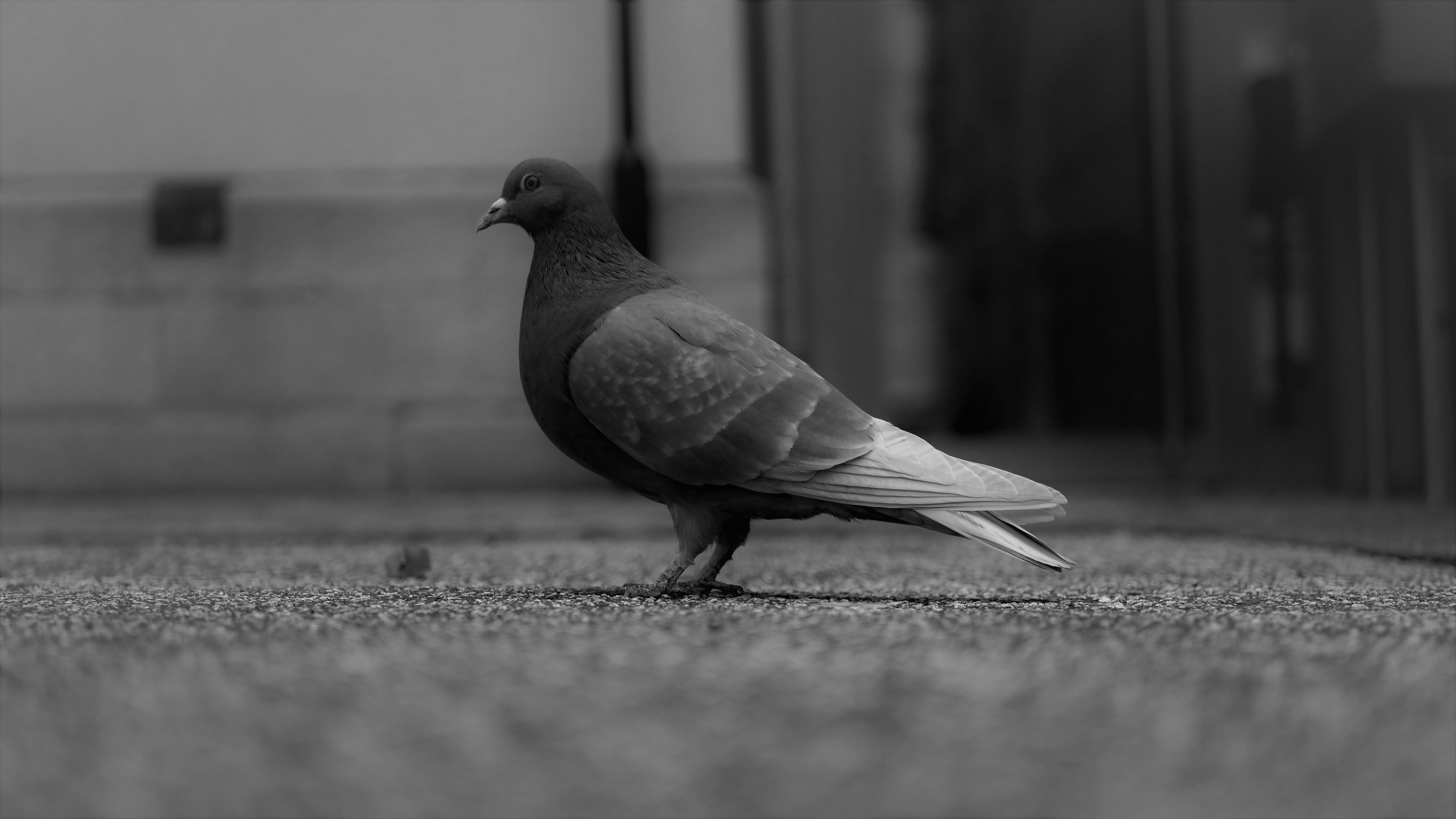 Grayscale Photo of Pigeon Standing on Ground
