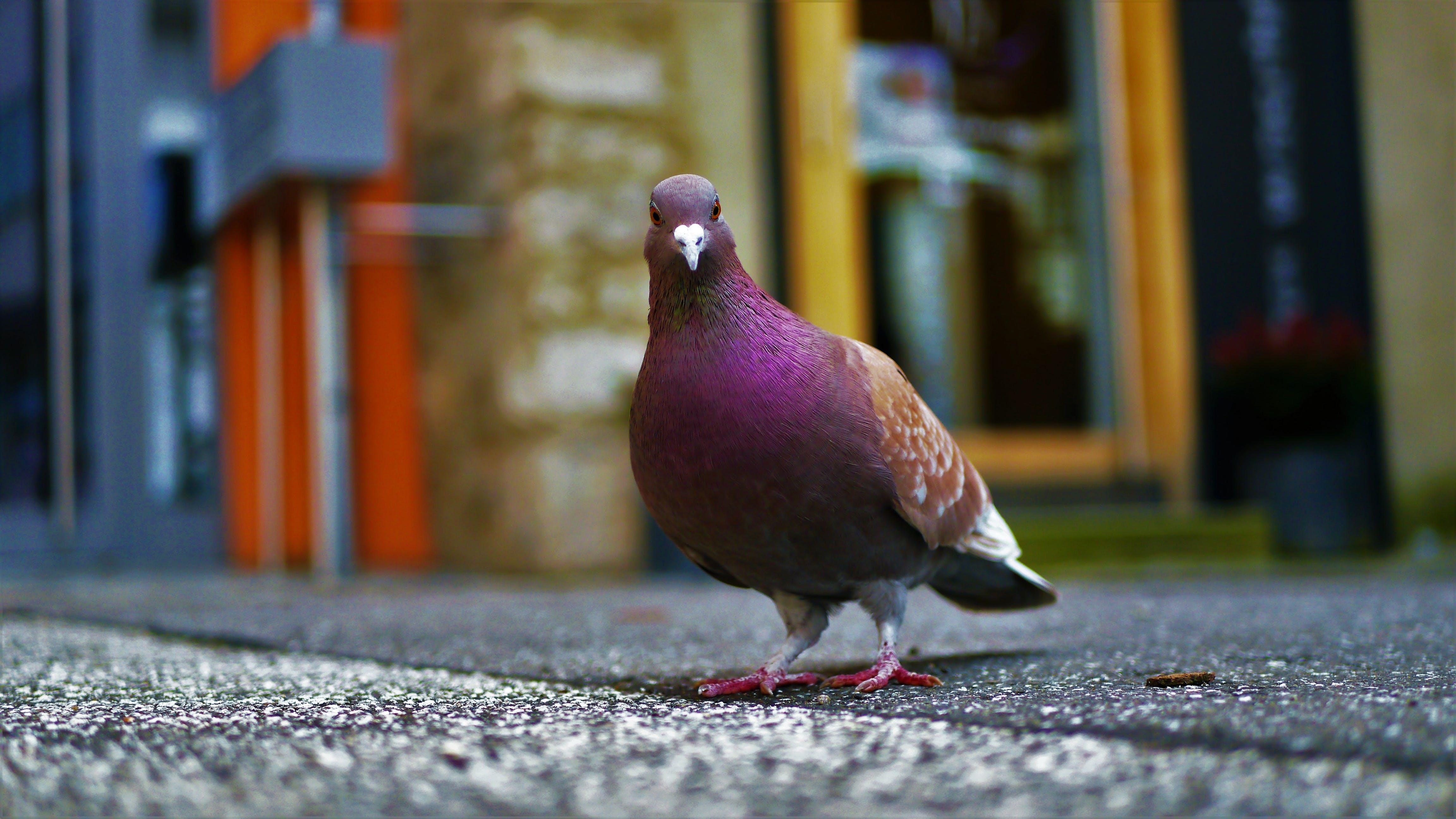 Purple Pigeon Standing on Black Concrete Surface