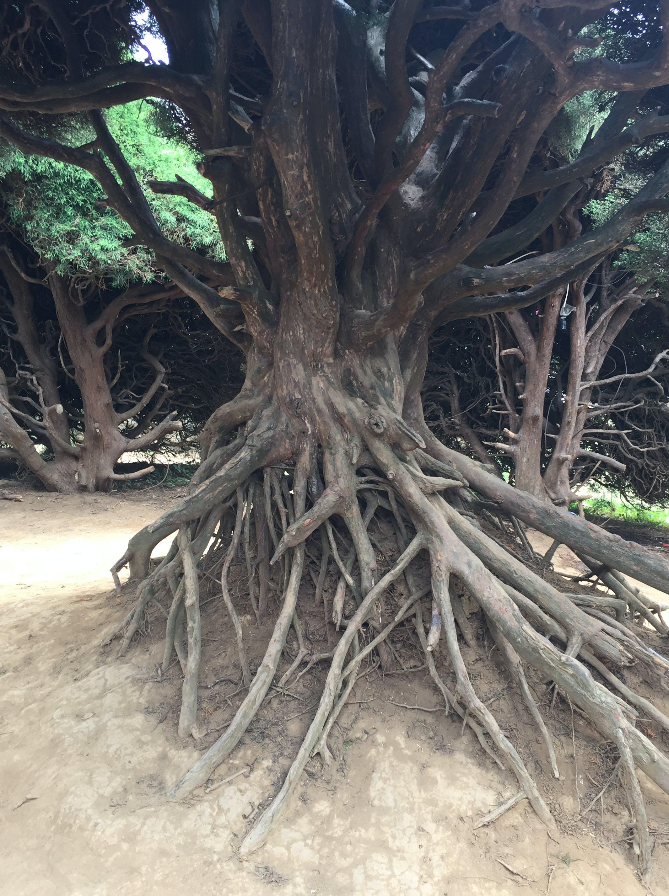 Free stock photo of roots, tree, zarcero