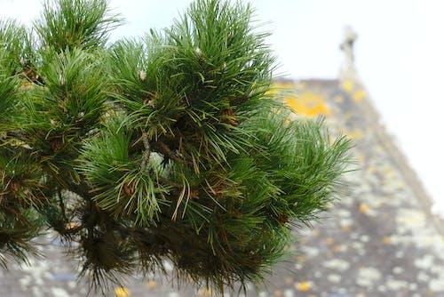 Photos gratuites de aiguilles, arbre, botanique, branche