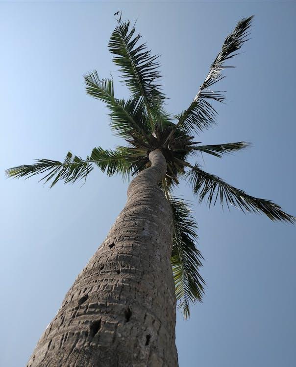 Free stock photo of coconut tree, oceanside