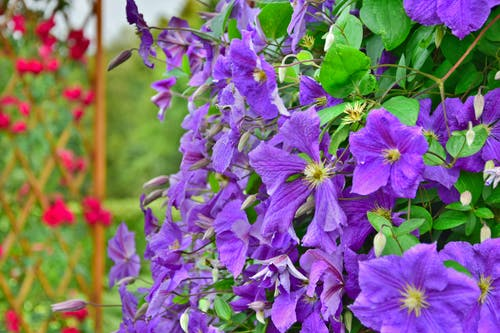 Fully Bloomed Purple Petaled Flowers