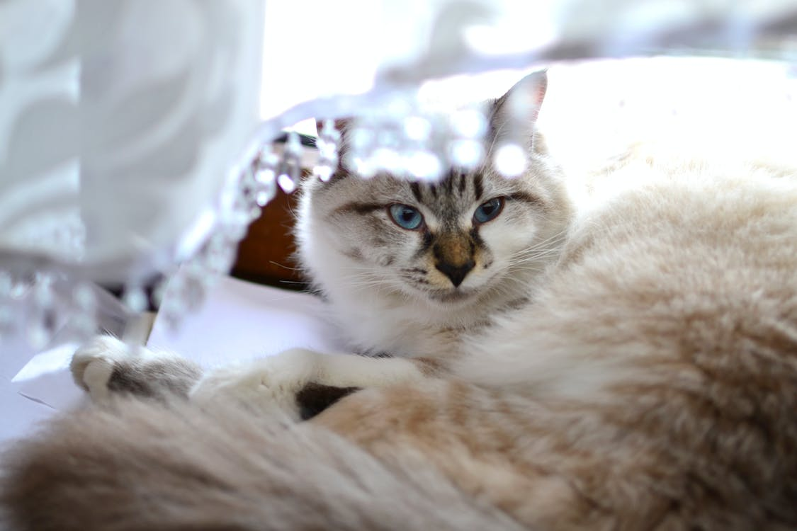 серо белый короткошерстный кот