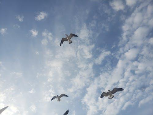 Free stock photo of bird flying, blue sky, seagulls