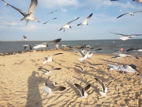 Free stock photo of beach, seagulls