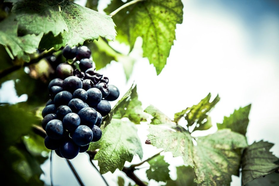 Purple Grapes Unattached to the Tree