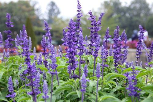 Foto stok gratis bunga-bunga, kebun, ungu