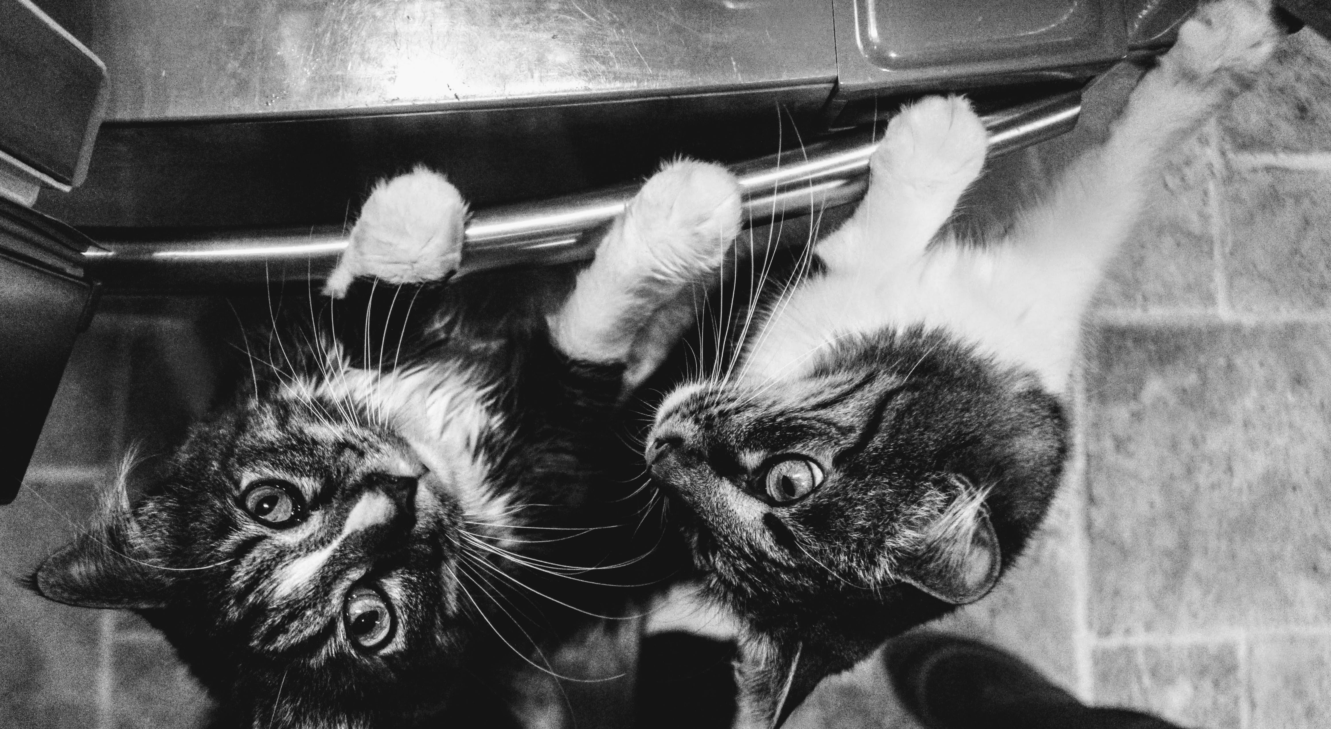 Grayscale Photo of Tabby Cats