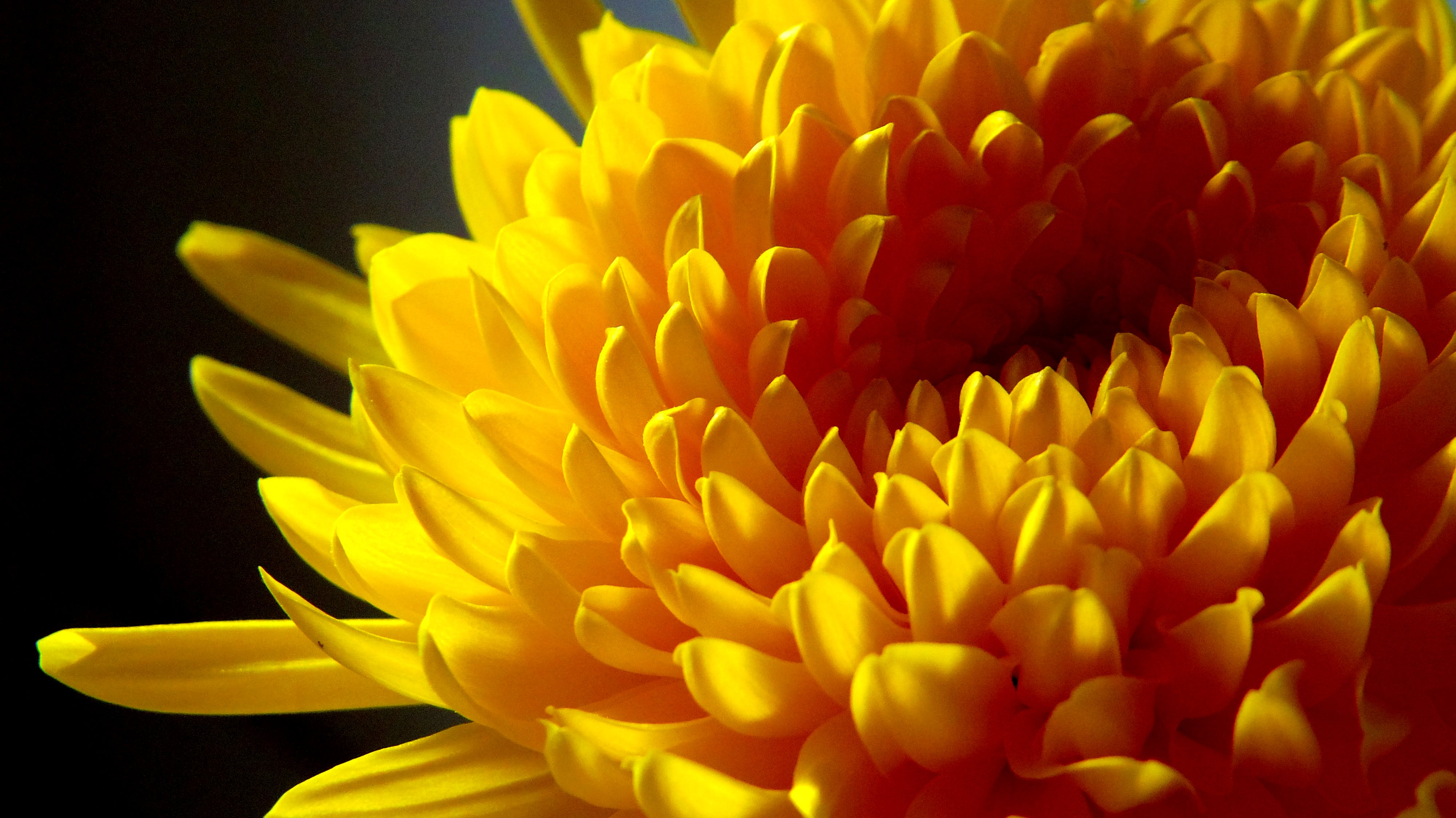Yellow Chrysanthemum Close-up Photo