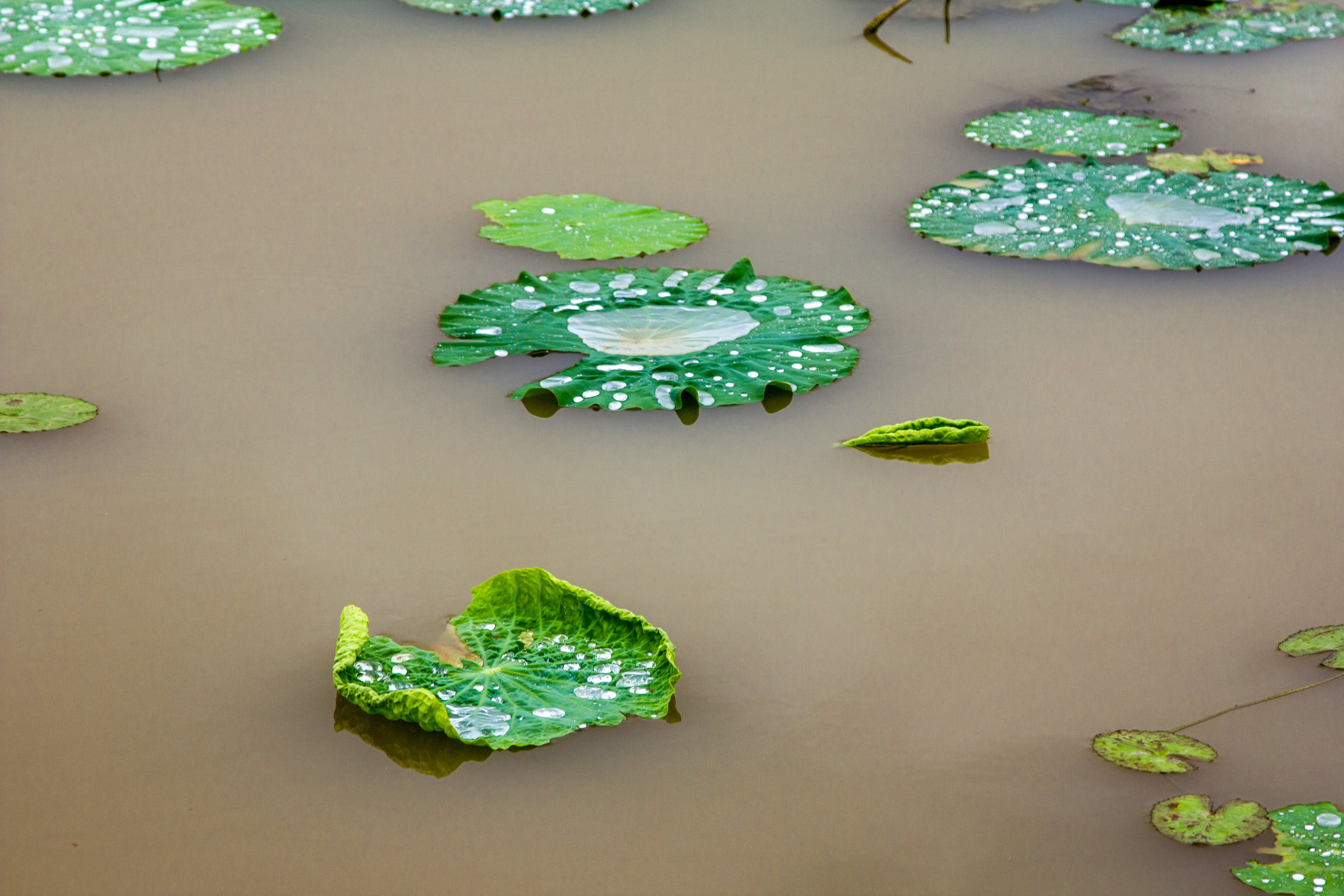 Free stock photo of green, lillypad, lotus, pond