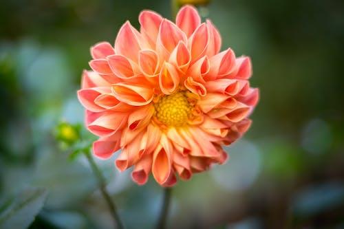 Selective Focal Photo of Pink Cluster-petaled Flower