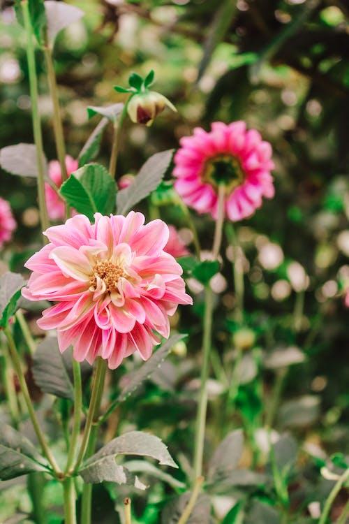 A Beautiful Zinnia Pink Flower
