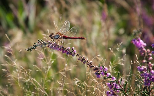 Free stock photo of dragonfly, heather