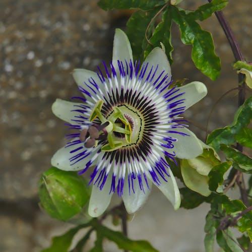 Photos gratuites de bleu, botanique, floraison, jardin