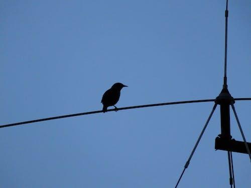 Free stock photo of bird, black bird, blue sky