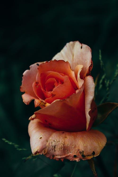 Безкоштовне стокове фото на тему «великий план, квітка, квітучий, колір»