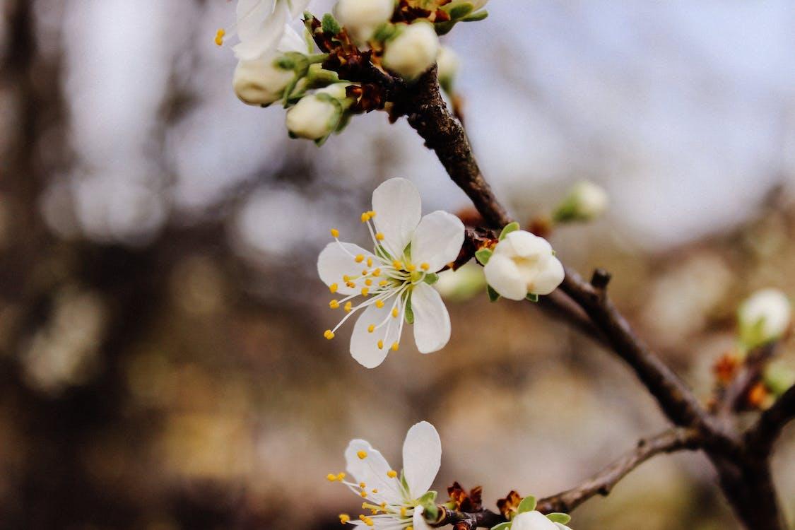 čerešňový kvet, detailný záber, flóra