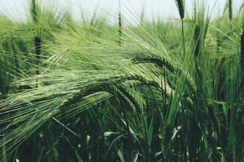 Бесплатное стоковое фото с зеленый, зерно, зерновые, лето
