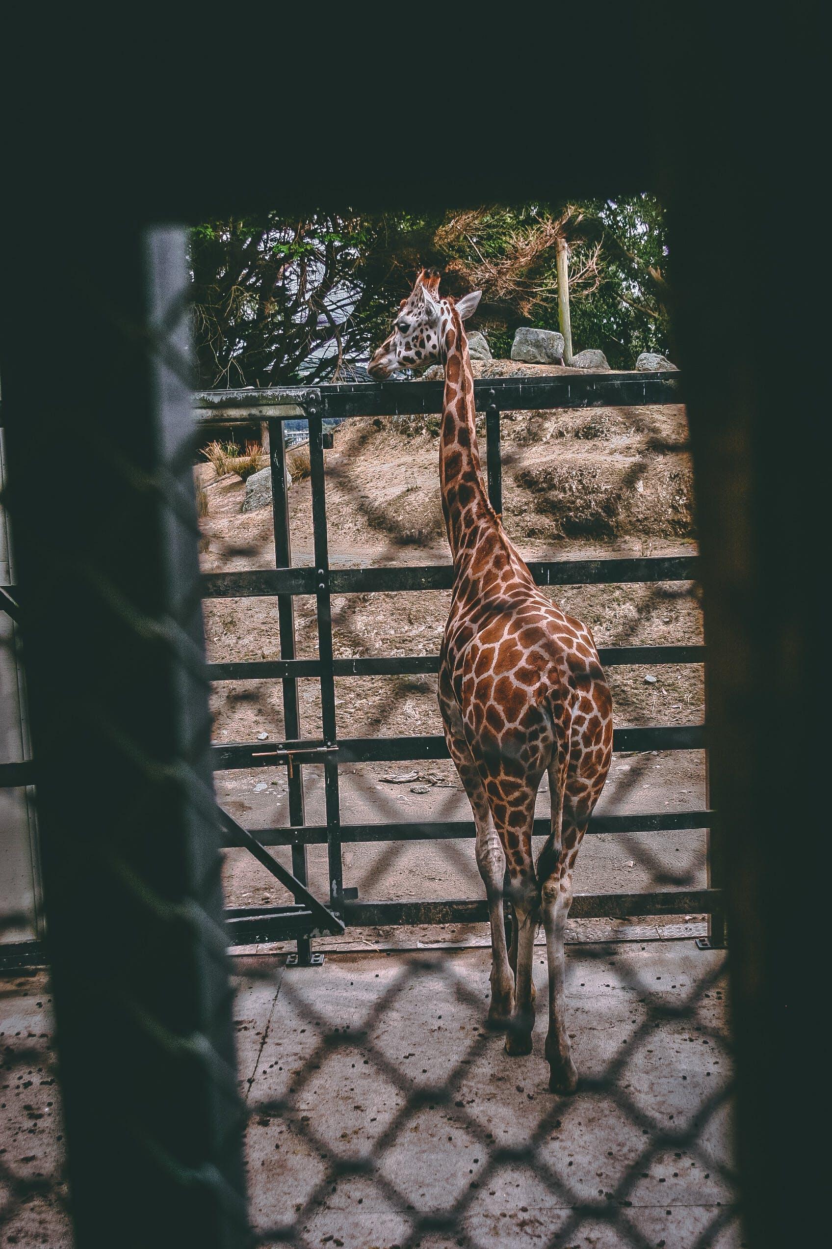 Brown and Beige Giraffe Standing Near Black Metal Fence