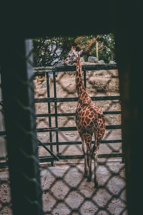 Immagine gratuita di albero, animale, animale selvatico, collo lungo