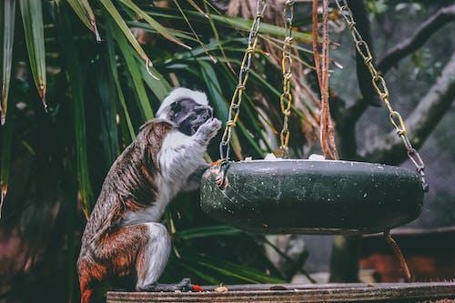 Foto stok gratis bayi monyet, binatang, cute, kebun binatang