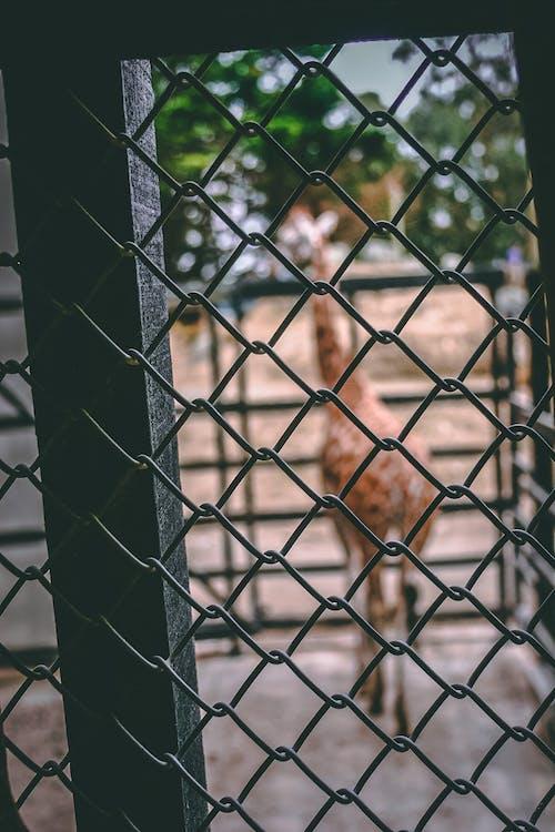 Foto stok gratis binatang, binatang buas, dinding, jerapah